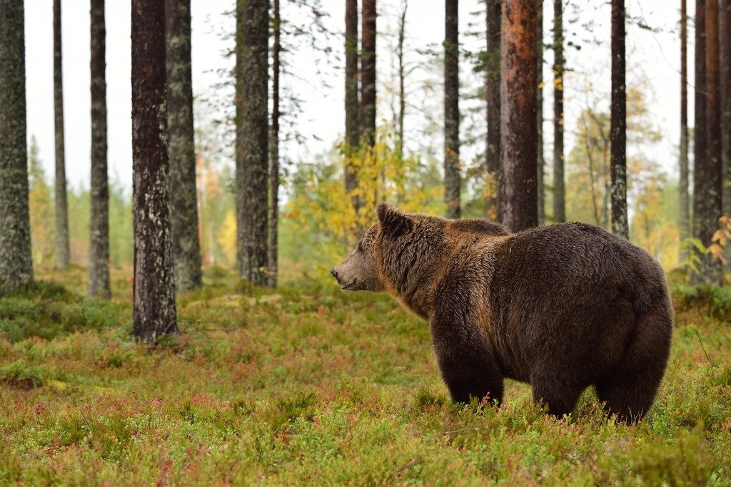 grizzly bear in the forest